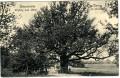 OÖ: Gruß aus Klam bei Grein 1908 Rieseneiche Umfang 8.55 Meter